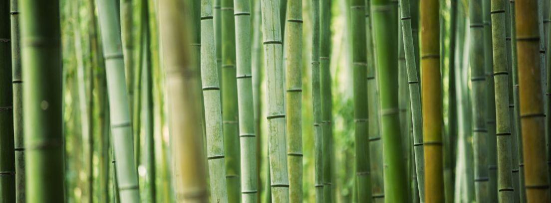 C mo plantar y cultivar bamb canalhogar - Bambu planta exterior ...
