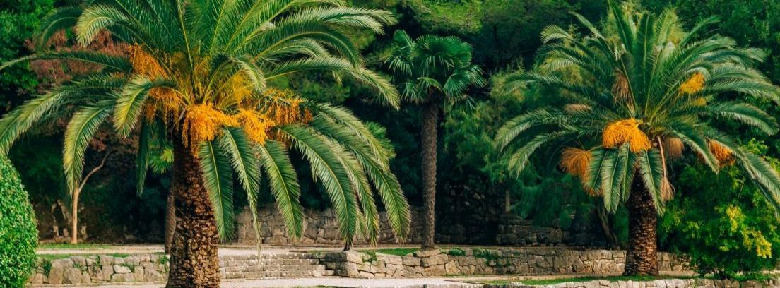 Cómo podar una palmera de jardín