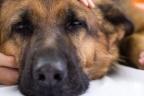Evitar la rabia en los perros