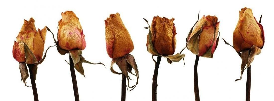 Secado de rosas