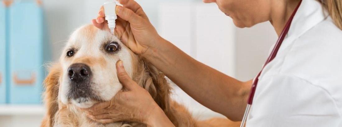 Curar conjuntivitis mascotas