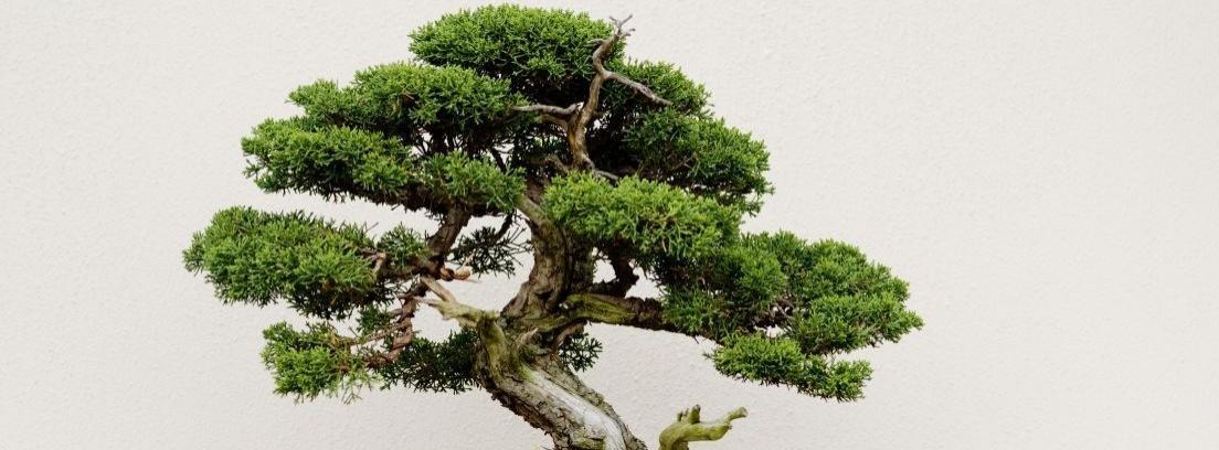 Cuidar correctamente un bonsái