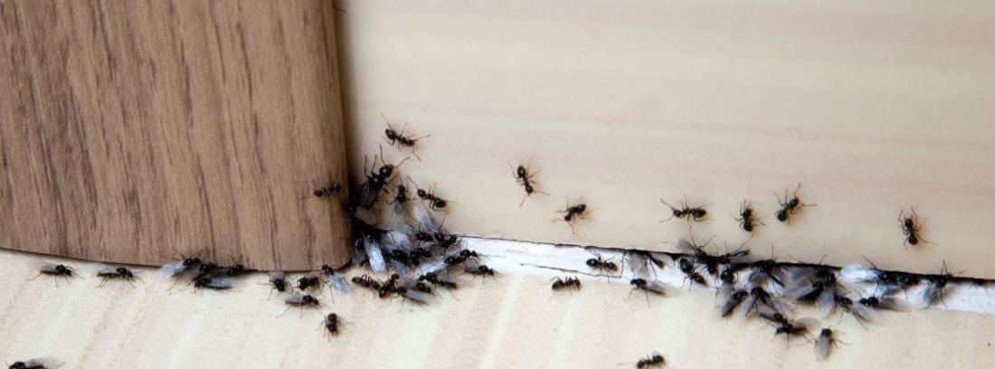 Consejos para detener una plaga de hormigas en el hogar