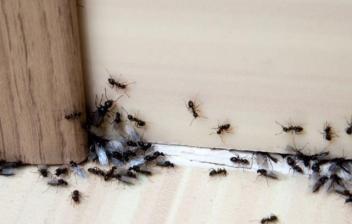 Hormigas bajo una puerta