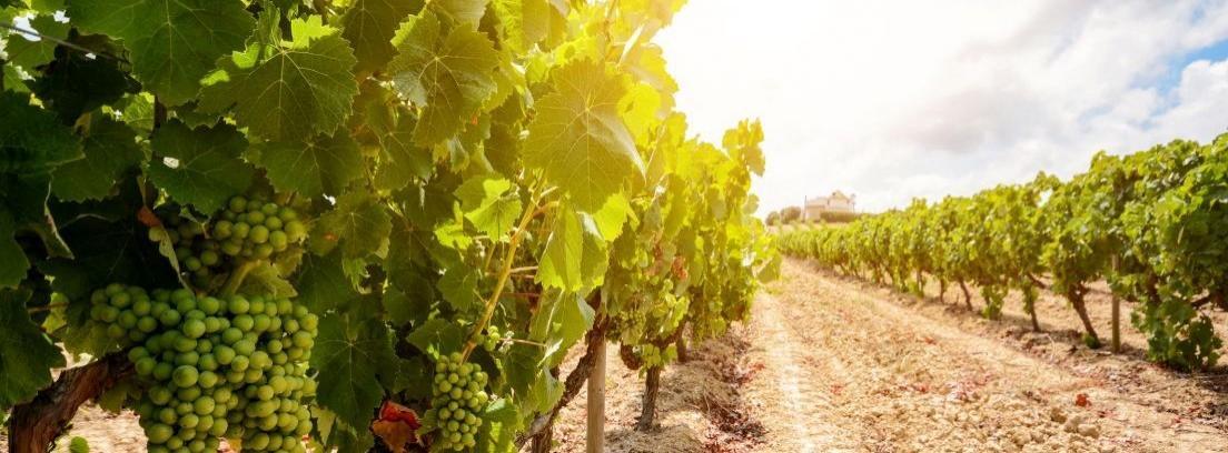 Consejos para el cuidado de la parra de uvas -canalHOGAR 53ce3a06ba2