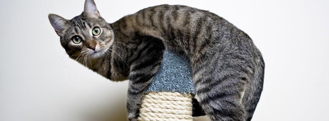 Controlar la hiperactividad en gatos