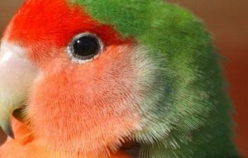 pájaro Agaporni