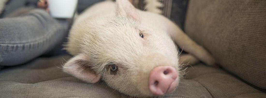 Cerdo pigmeo