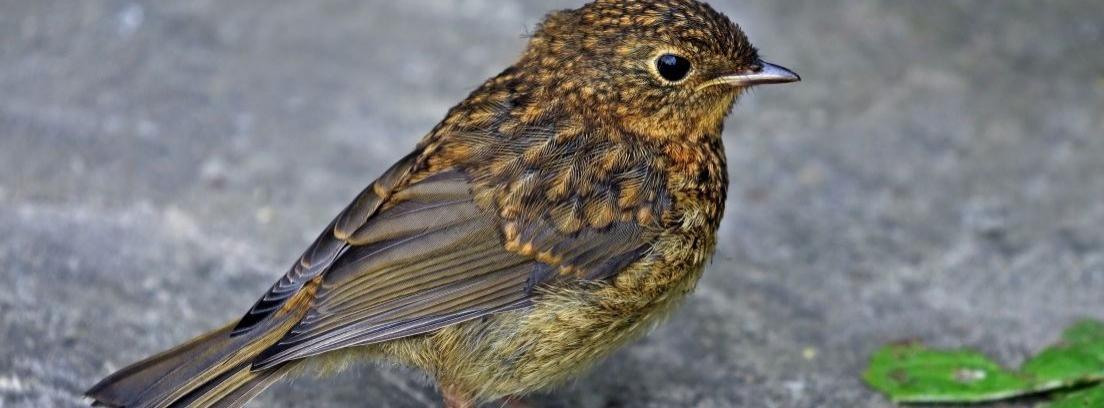 Pájaro petirrojo europeo