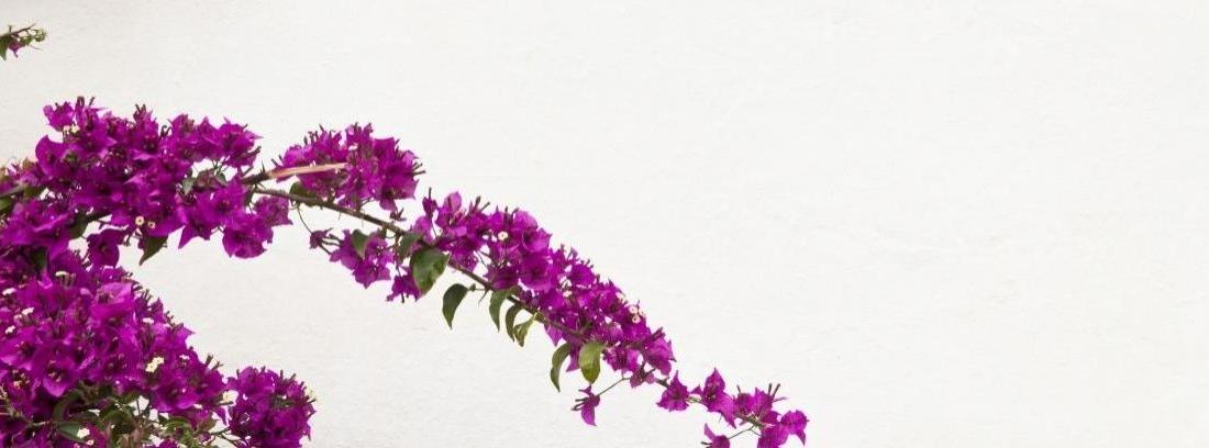 Planta buganvilla