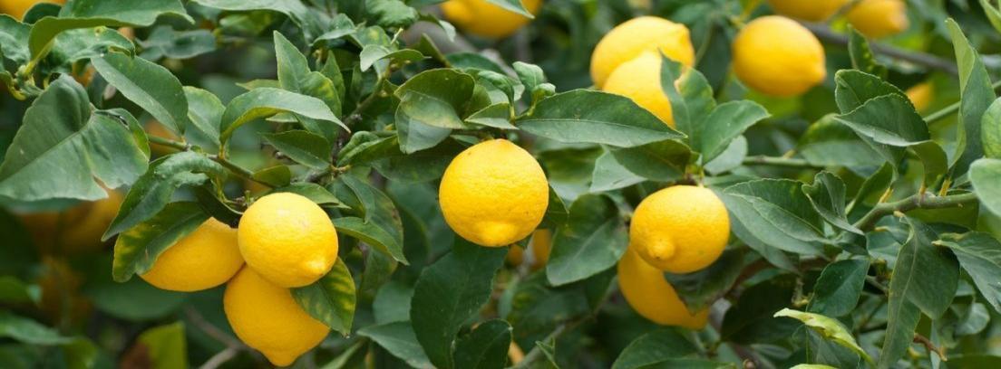 Tener un limonero dentro de casa