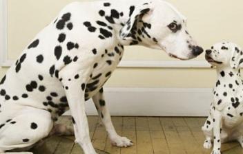El atípico perro Dálmata
