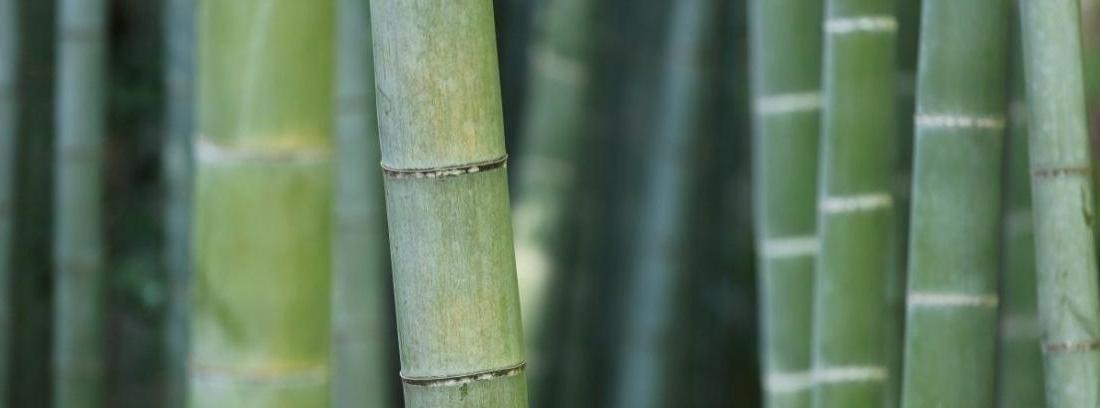 Los tipos de bambú que puedes encontrar
