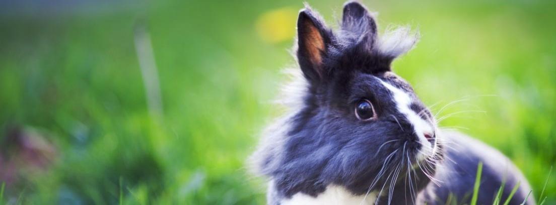Dutch, uno de los conejos más populares