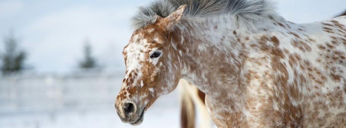 La raza de caballo appaloosa
