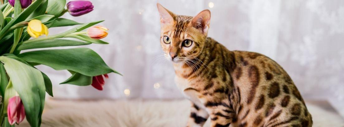 El bengalí, una raza de gato moderna