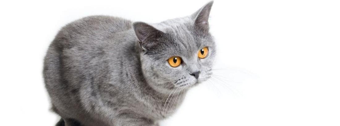 El gato british shorthair