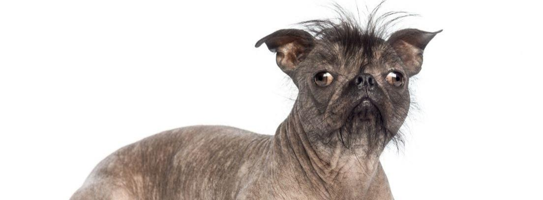Algunos de los perros más feos del mundo (Fuente: sonoma-marinfair.org)