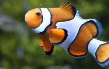 El pez payaso