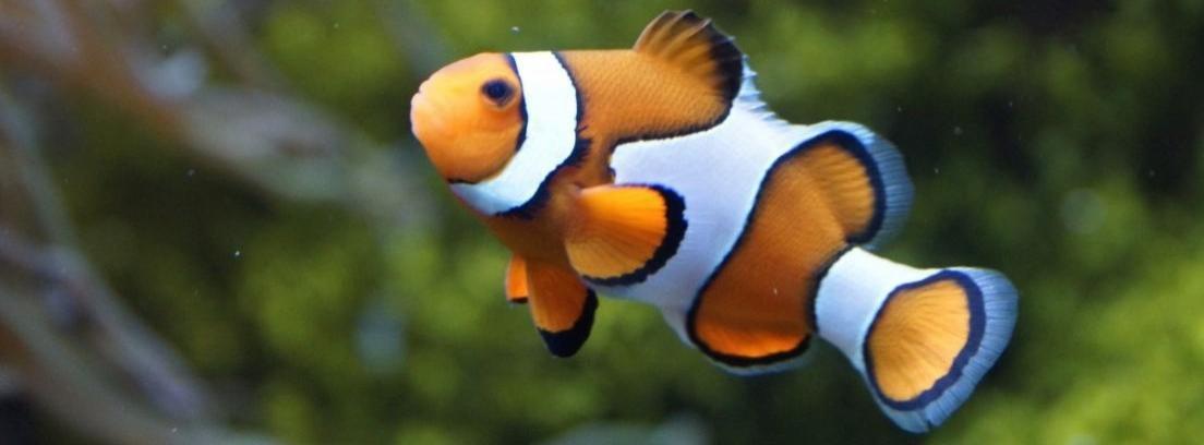 El pez payaso, el habitante más famoso de los arrecifes de coral