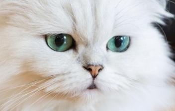 Una bonita cría de gato persa