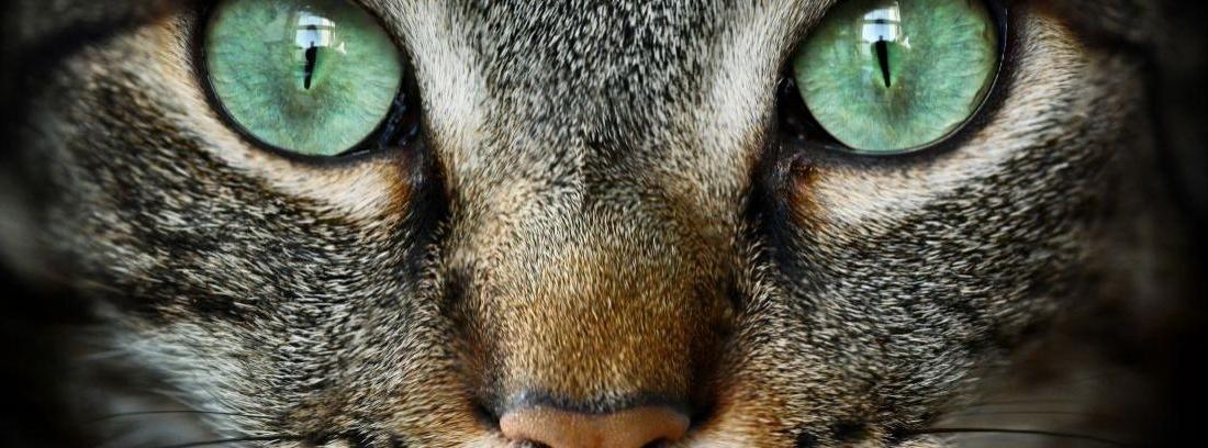 Enfermedades ojos gatos