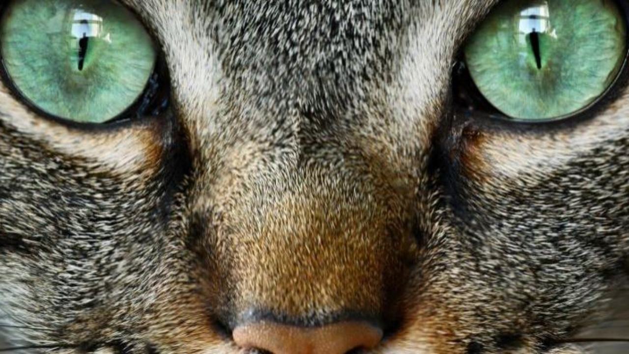 ¿Qué causa las infecciones oculares en los gatos?