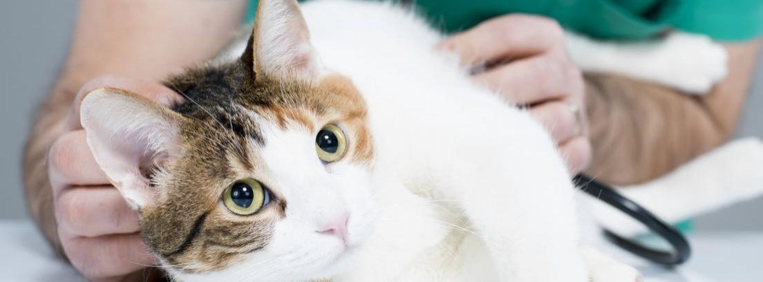 Enfermedades respiratorias en los gatos -canalHOGAR