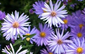 Flor aster