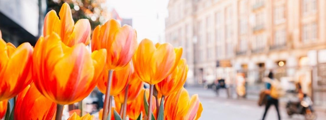 Flores ranúnculo de varios colores