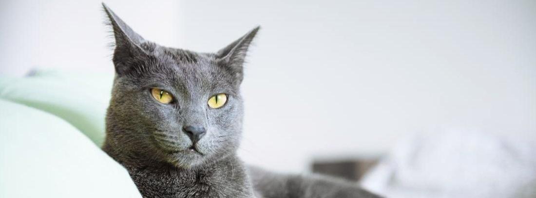 Un gato aristocrático: el azul ruso