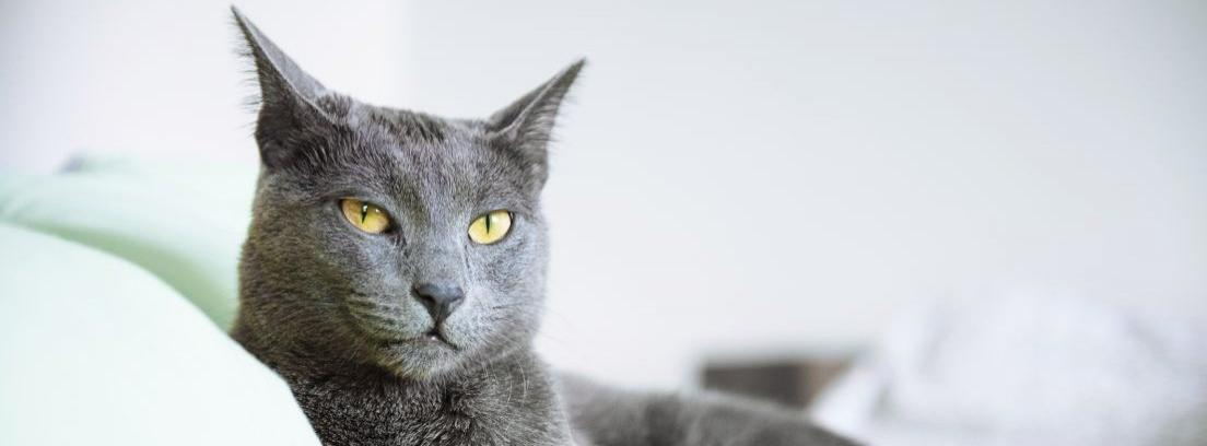El gato azul ruso, un animal de gran belleza