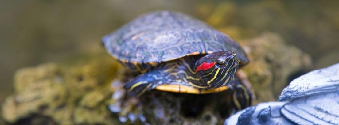 La alimentación de las tortugas de orejas rojas