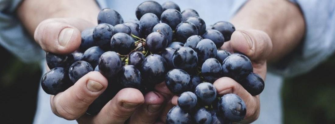 Primer plano de unas manos sosteniendo un racimo de uvas moravias