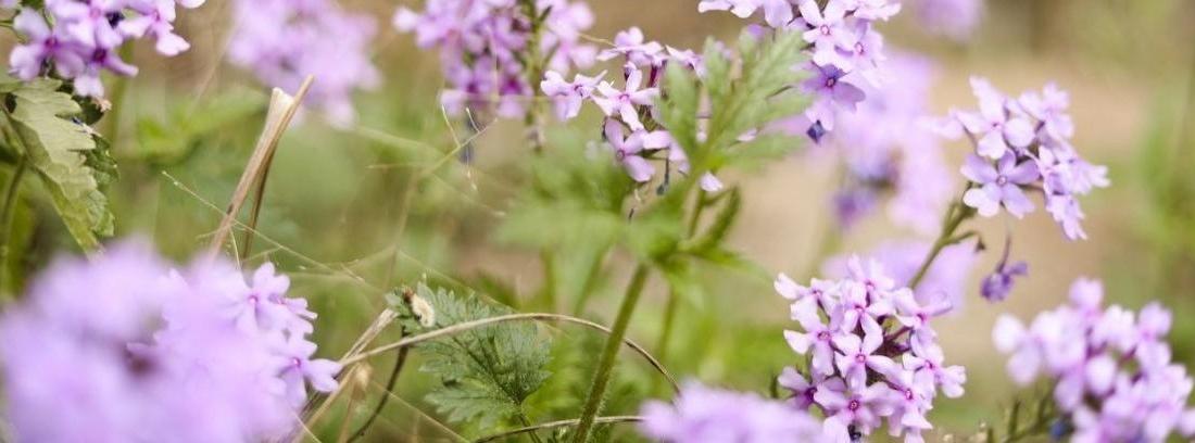 Arbusto de Hierba luisa o Verbena