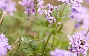 Planta de Hierba Luisa con flores moradas
