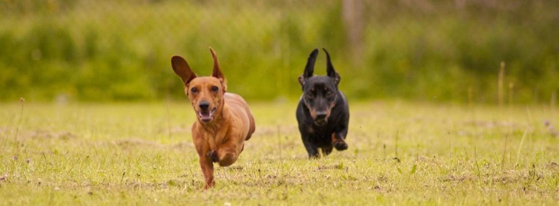 Perro de raza Teckel de color marrón sobre el césped