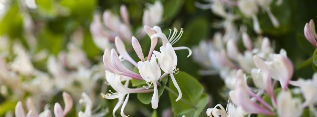 Madreselva, una planta muy aromática