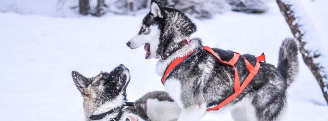Conoce los períodos más fértiles de los perros
