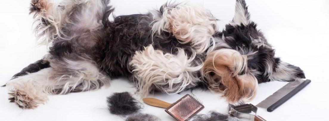 Motivos para no cortar el pelo al perro en verano