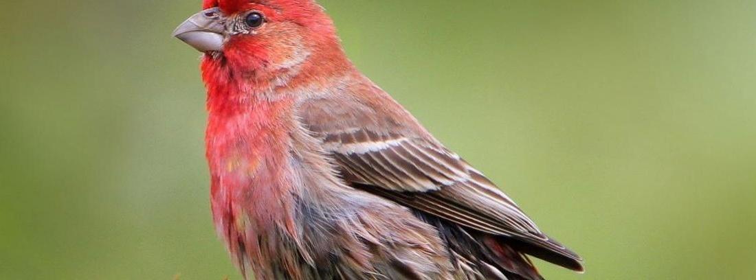 Pájaro pinzón