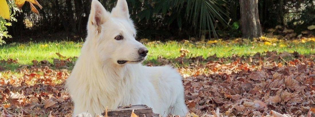 Qué es el pedigree de los perros