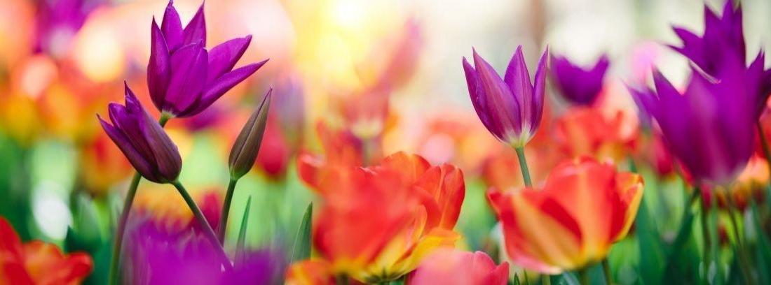 Flores pensamientos para jardín