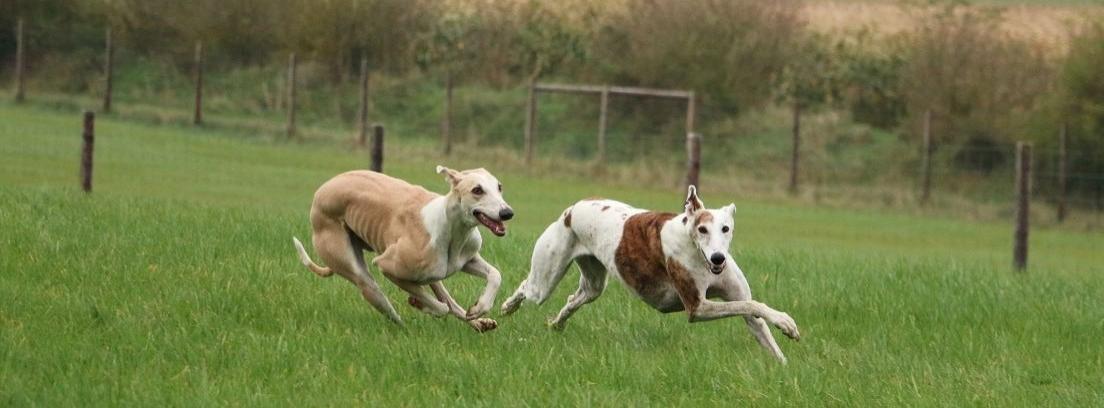 perros atléticos