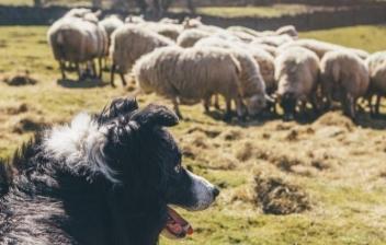 Perros ovejeros