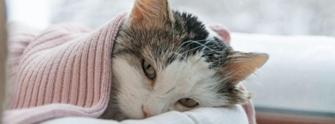 No confundas la gordura de tu gato con el PIF...
