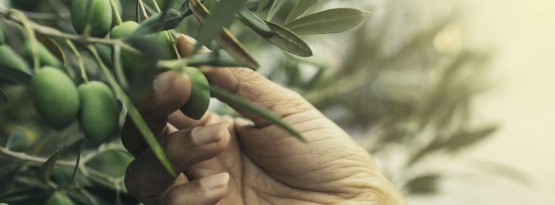 Cómo plantar un olivo