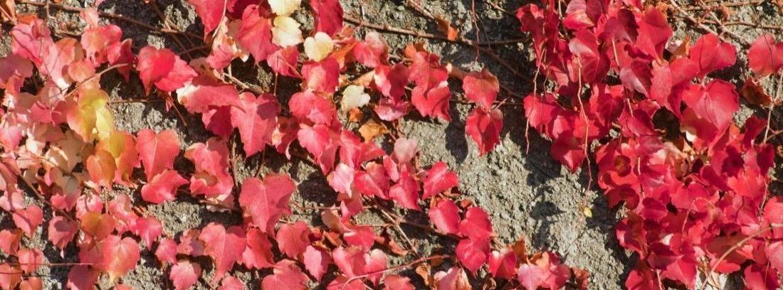 Plantas trepadoras rojas
