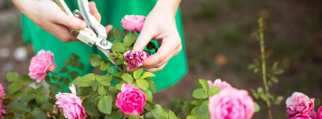 Cómo podar rosales