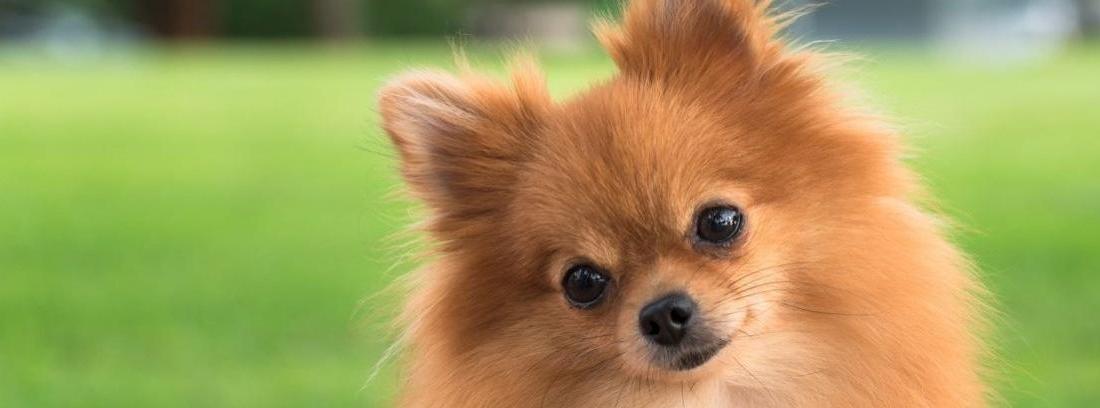 La raza de perro Pomerania
